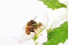 Honey Bee Blackberry Flower 2 Royalty Free Stock Photo