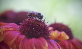 A Honey Bee on a Blanket Flower Stock Photography