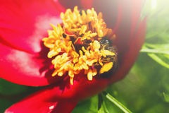 Honey bee blooming flower, floral background Stock Images
