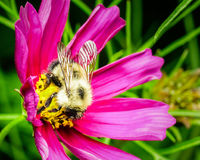 Honey Bee on a Blooming Purple Flower Stock Photography
