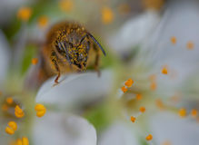 Honey bee on a blossom of plum Royalty Free Stock Image