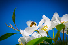 Honey bee. On a blossoming Apple tree Royalty Free Stock Photography