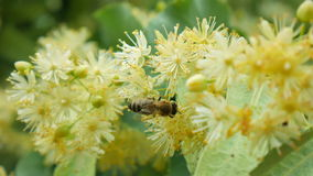 Honey bee on the blossoming linden flowers at sunny day in garden. Bees Collect Pollen from Small Leaved Linden stock video