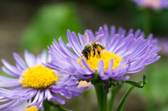 Honey bee on blue aster Stock Photo
