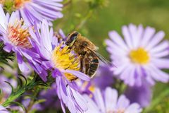 Honey bee on blue aster stock images