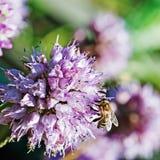 Honey bee on blue flower. Royalty Free Stock Photo