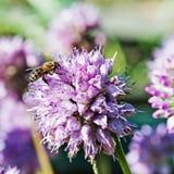 Honey bee on blue flower. Royalty Free Stock Image