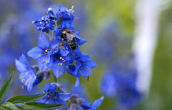 Honey bee on blue flower Royalty Free Stock Photography