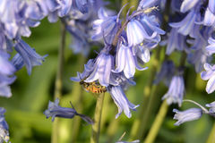 Honey bee and bluebells Stock Image