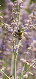 Honey bee with blurred moving wings stock photography