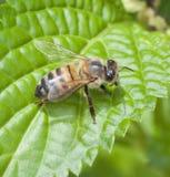 Honey Bee on Bright Green Leaf stock photo