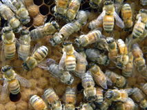 Honey Bee Brood tampado Imagens de Stock
