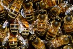 Honey, Bee, Buckfast, Insect, Wings Stock Photography