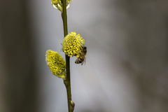 Honey Bee on Budding Pussy Willow Flower Royalty Free Stock Image