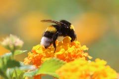 Honey Bee, Bumblebee, Bee, Insect stock photography