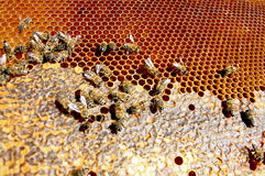 Honey bee busy making honey. On bee hive stock photography