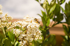 Honey Bee-1. Honey bee busy pollinating colorful flowers Royalty Free Stock Photos