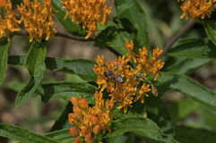 Honey Bee on Butterfly Weed Royalty Free Stock Photos