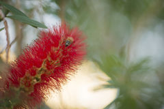 Honey bee on Callistemon red bottlebrush flower Stock Images