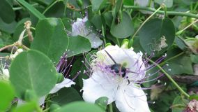 Honey bee on cape flower stock footage