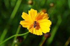 A honey bee captured sitting beautifully on a yellow cosmos flower.