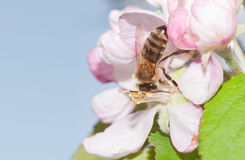 Honey Bee che impollina un fiore della mela Immagini Stock