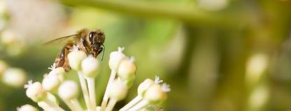 Honey Bee che raccoglie polline sul fondo vago del bokeh Immagini Stock Libere da Diritti