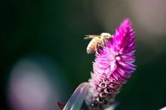 Honey Bee che si alimenta fine di Pampa Plume Celosia Mix su fotografia stock libera da diritti