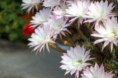 Honey Bee che vola al fiore Fotografia Stock