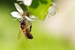 A honey bee on a cherry Royalty Free Stock Image