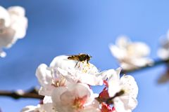Honey bee on cherry blossom Stock Photo