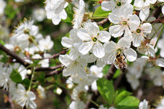 Honey Bee on a Cherry Blossom Royalty Free Stock Photo