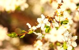 Honey bee on Cherry Blossom in spring with Soft focus, Sakura se. Honey bee flying on Cherry Blossom in spring with Soft focus, Sakura season- Spring abstract royalty free stock photography