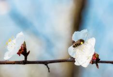 Honey bee on Cherry Blossom in spring with Soft focus, Sakura se. Honey bee flying on Cherry Blossom in spring with Soft focus, Sakura season- Spring abstract stock photos