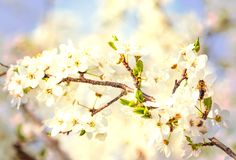 Honey bee on Cherry Blossom in spring with Soft focus, Sakura se. Honey bee flying on Cherry Blossom in spring with Soft focus, Sakura season- Spring abstract royalty free stock photo