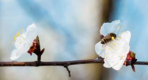Honey bee on Cherry Blossom in spring with Soft focus, Sakura se. Honey bee flying on Cherry Blossom in spring with Soft focus, Sakura season- Spring abstract royalty free stock image