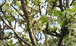 Honey Bee on Cherry Blossoms Royalty Free Stock Photo