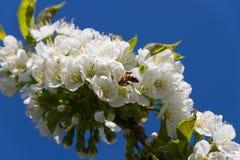 Honey bee and cherry tree. Stock Photography