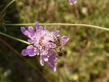 Honey Bee Closeup Foto de archivo libre de regalías