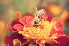 Honey bee. Closeup of honey bee on a flower Stock Photo