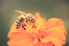 Honey bee. Closeup of honey bee on a flower Royalty Free Stock Photos