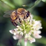 Honey Bee on Clover Blossom Royalty Free Stock Photography