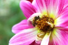 Honey Bee Colecting nectar from pink flower Royalty Free Stock Photos