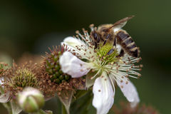 Honey bee collect nectar on blackberry blossom Stock Photography