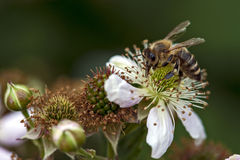 Honey bee collect nectar on blackberry blossom Royalty Free Stock Images
