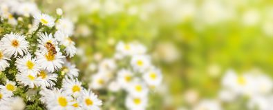 Honey bee collect pollen from the white flower Asters on a green. And yellow blurred background of nature, a banner for the site. Panorama. Blurred space for stock photography
