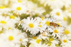 Honey bee collect pollen from the white flower Asters under the Royalty Free Stock Photography