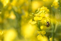 Honneybee collecting nectar on a flower. Honey Bee collecting len on yellow flowers against yellow background stock image