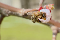 Honey Bee Collecting Nectar From an Apple Blossom Stock Photo