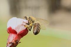 Honey Bee Collecting Nectar From Apple florece Imagen de archivo